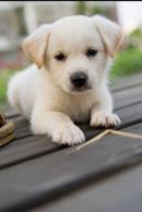 Puppy Shack Puppies For Sale Brisbane Queensland Beagle Bichon X Cavalier King Charles Spaniel Cavoodle Chihuahua Cocker Spaniel Golden Retriever Groodle Jack Russell X Labradoodle Labrador Lhoodle Maltese X Mini Dachshund