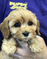 Puppy Shack - Puppies for sale Brisbane, Queensland, Beagle, Bichon
