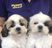 Puppy Shack Puppies For Sale Brisbane Queensland Beagle Bichon
